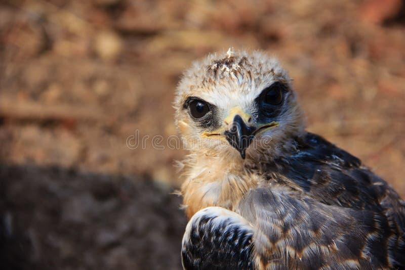 Pássaro novo do falcão foto de stock royalty free