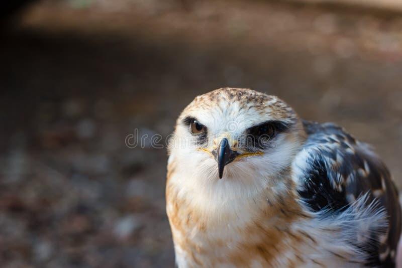 Pássaro novo do falcão fotos de stock royalty free