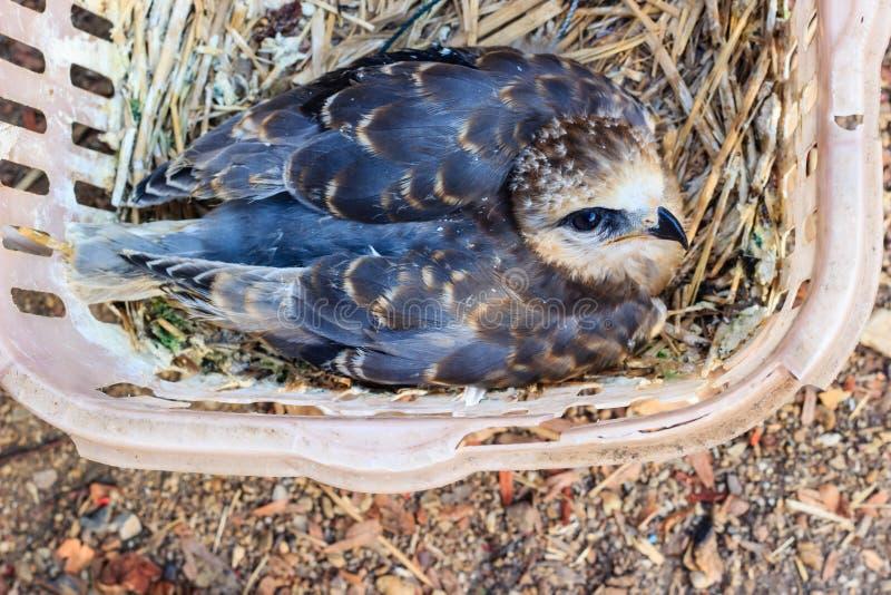 Pássaro novo do falcão fotos de stock