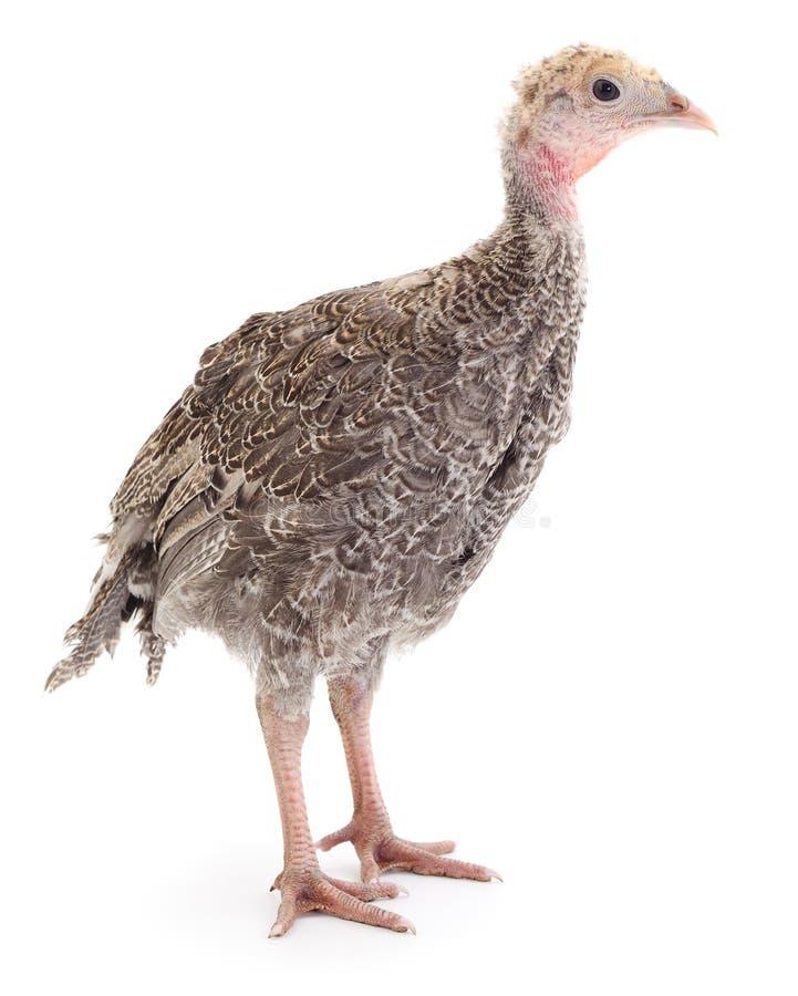 Pássaro novo do peru imagens de stock