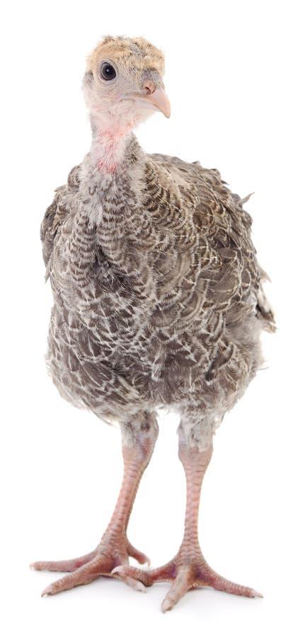 Pássaro novo do peru fotografia de stock