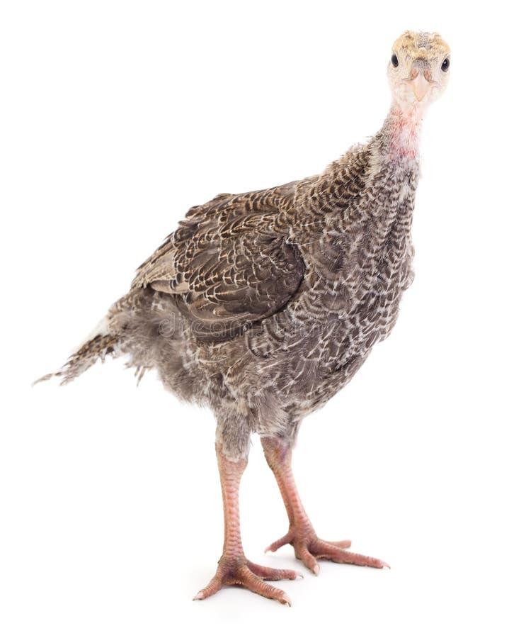 Pássaro novo do peru imagem de stock royalty free