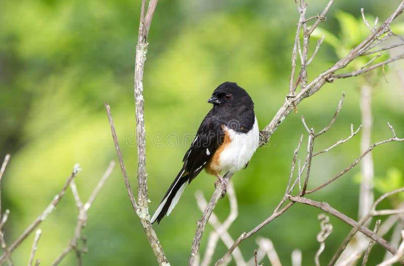 Pássaro oriental do Towhee em Ridge Mountains azul, North Carolina imagem de stock