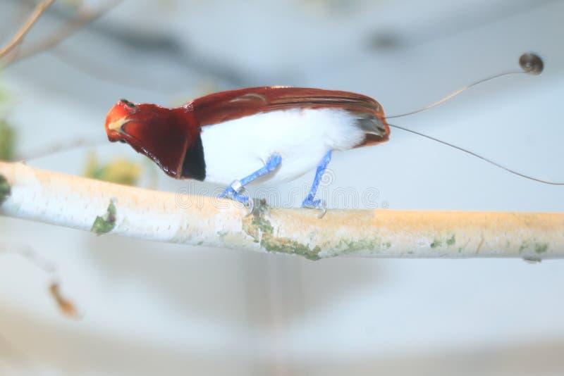 Pássaro--paraíso do rei imagem de stock
