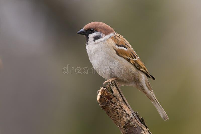 Pássaro - pardal de árvore imagens de stock royalty free