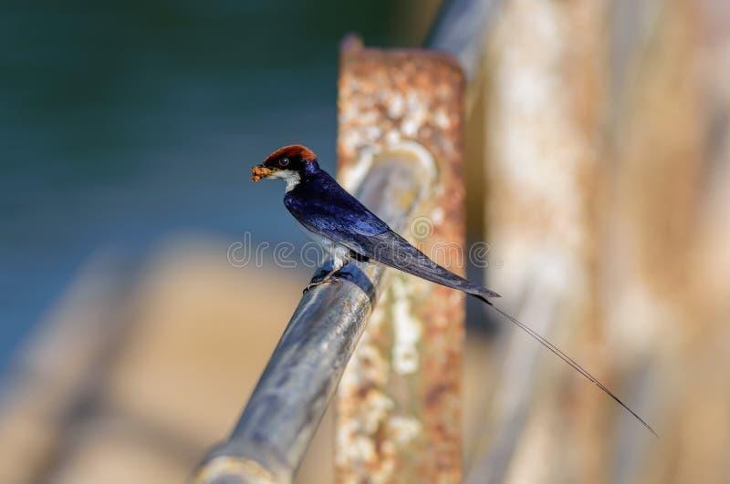 Pássaro pequeno, andorinha Fio-atada, smithii do Hirundo, empoleirado foto de stock royalty free