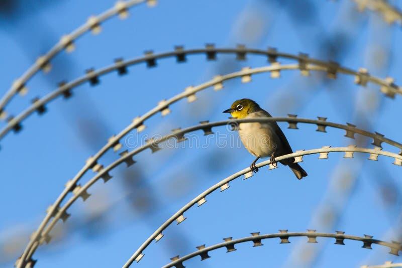 Pássaro pequeno do olho da cera no arame farpado imagens de stock royalty free