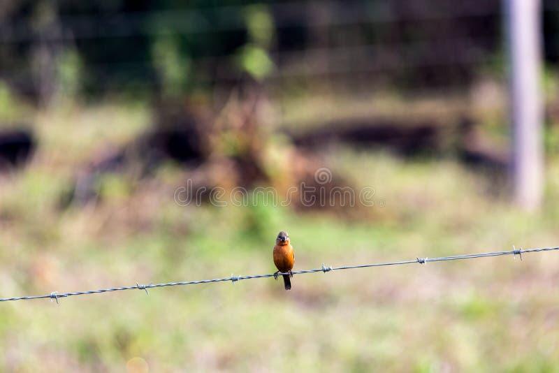 Pássaro pequeno no arame farpado fotos de stock