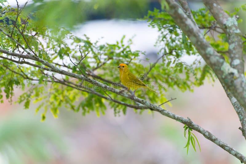 Pássaro pequeno que guarda o ramo com o bico fotos de stock