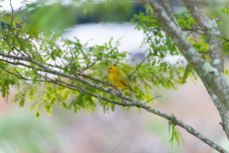 Pássaro pequeno que guarda o ramo com o bico imagens de stock royalty free