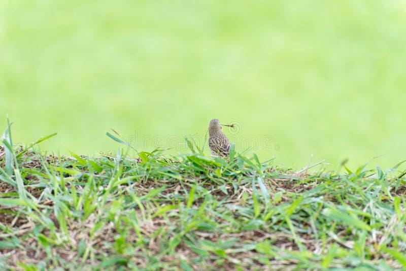 Pássaro pequeno que guarda o ramo para fazer um ninho imagens de stock royalty free