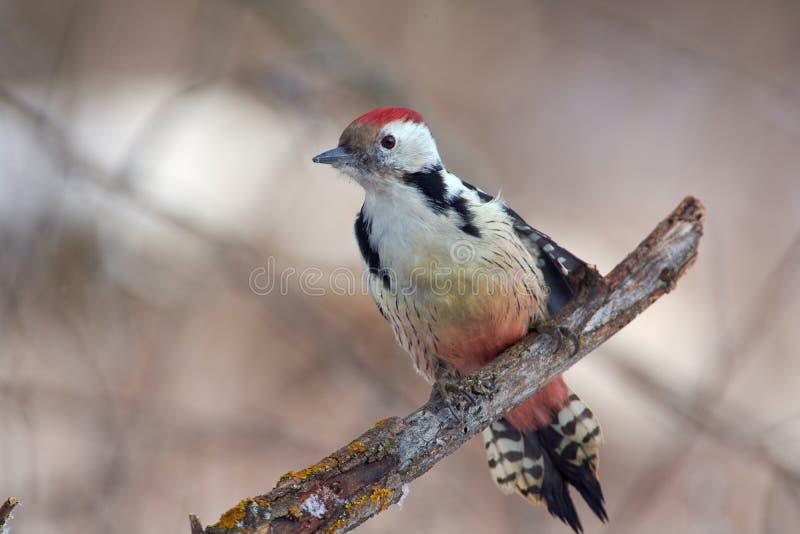 Pássaro - pica-pau manchado médio que senta-se em um ramo coberto com o líquene na floresta do inverno em um fundo das árvores fotos de stock royalty free