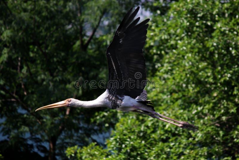 Pássaro pintado de voo da cegonha na natureza imagens de stock