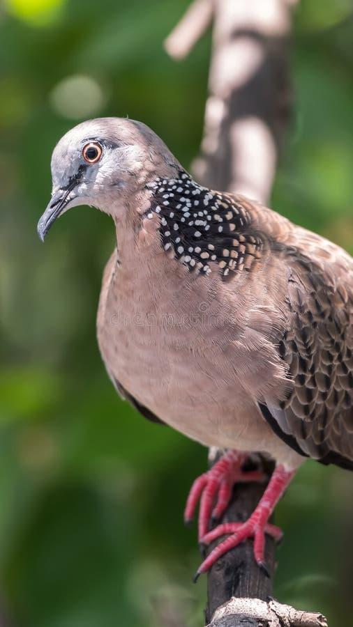 Pássaro (pomba, pombo ou desambiguação) em uma natureza fotografia de stock royalty free