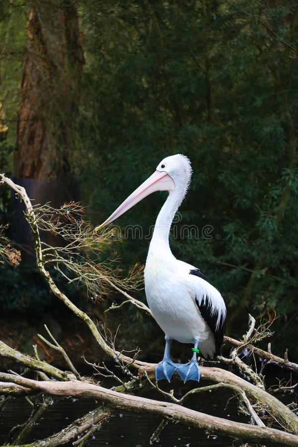 pássaro Ponto-faturado do pelicano em Austrália foto de stock