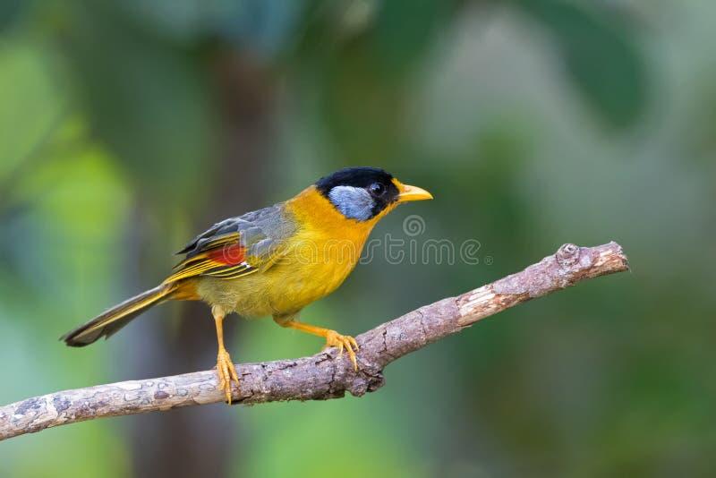 Pássaro Prata-orelhudo fêmea do mesia na asa amarela, colorida empoleirando-se no ramo foto de stock royalty free