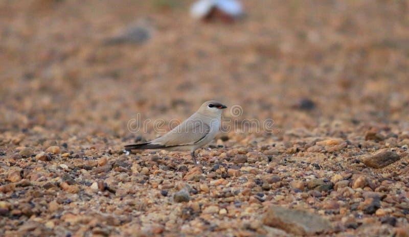 Pássaro pratincole pequeno imagens de stock