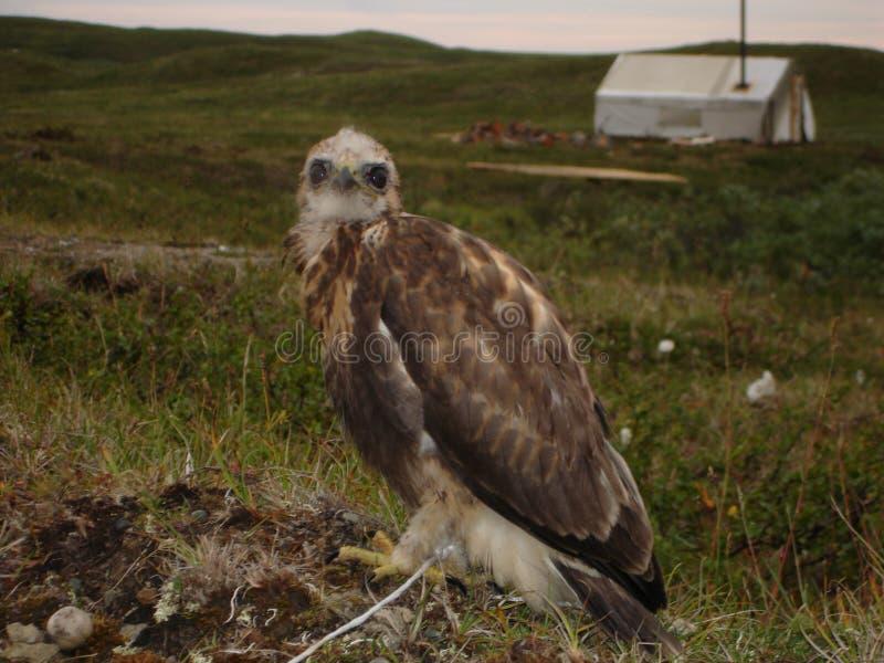 Pássaro predatório imagem de stock