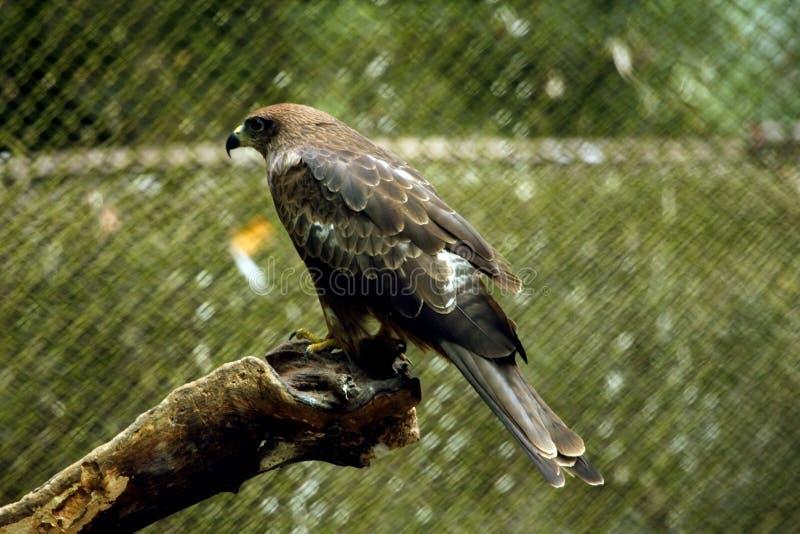 Pássaro predatório asiático imagem de stock royalty free