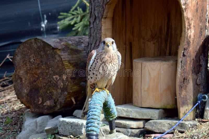 Pássaro predatório, selvagem no captiveiro foto de stock