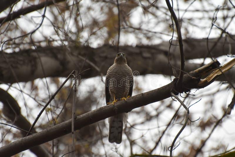 Pássaro predatório, sentando-se em uma árvore imagem de stock