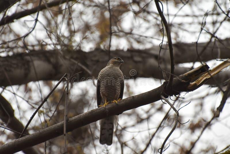 Pássaro predatório, sentando-se em uma árvore fotos de stock royalty free
