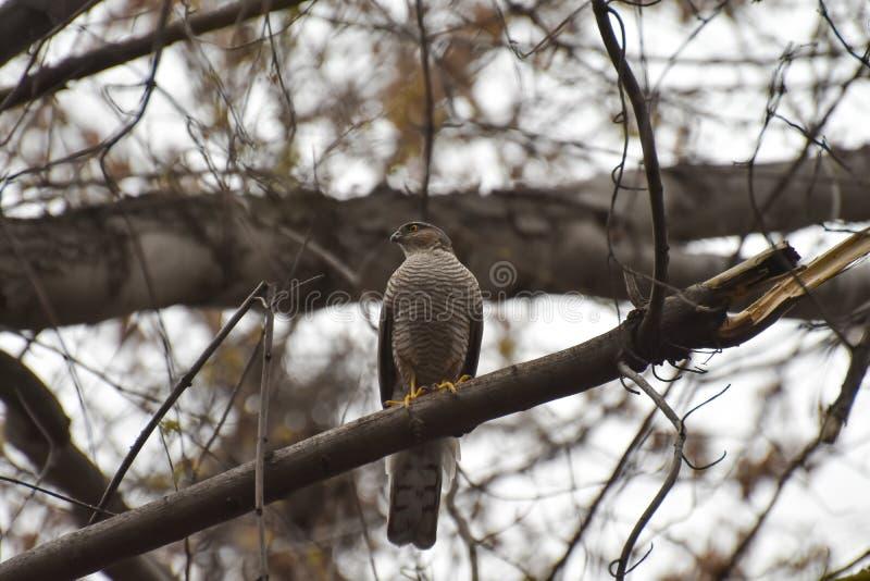 Pássaro predatório, sentando-se em uma árvore fotografia de stock royalty free