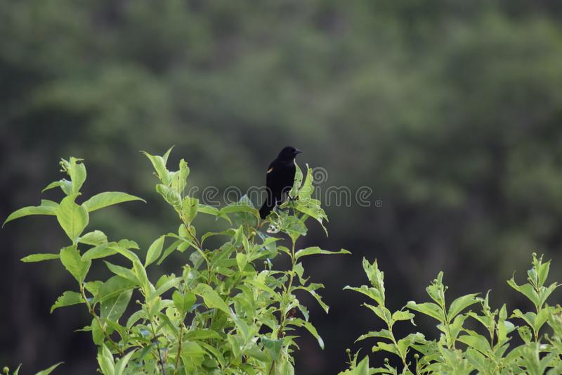 Pássaro preto fotos de stock