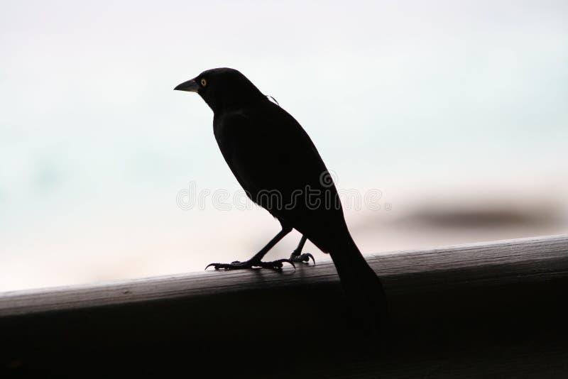 Pássaro preto imagem de stock royalty free