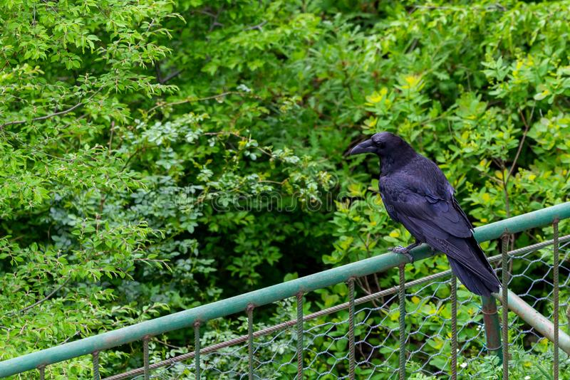 Pássaro preto do corvo no fundo verde Penas pretas Corvo preto fotos de stock royalty free