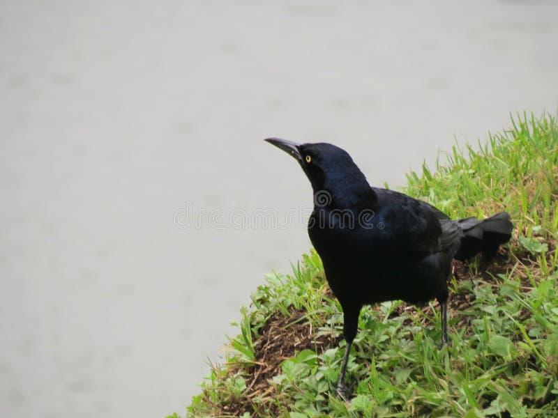Pássaro preto em um dia nebuloso foto de stock