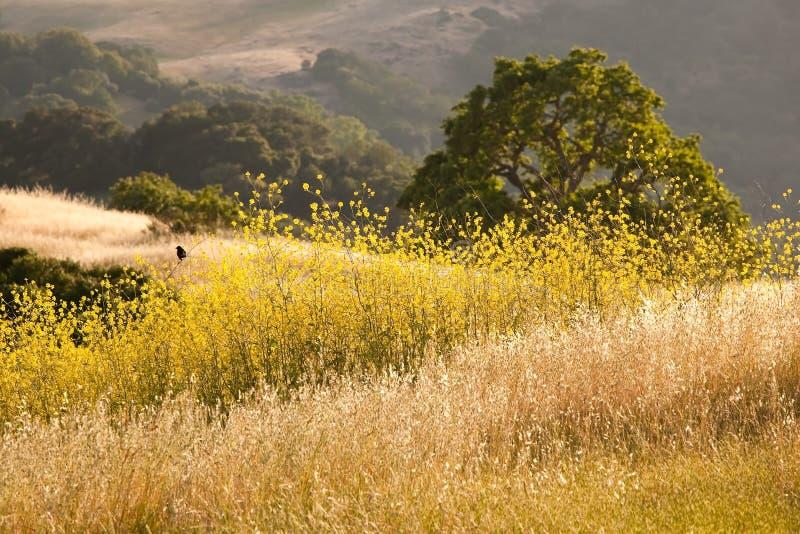 Pássaro preto no campo dourado do wildflower fotografia de stock royalty free