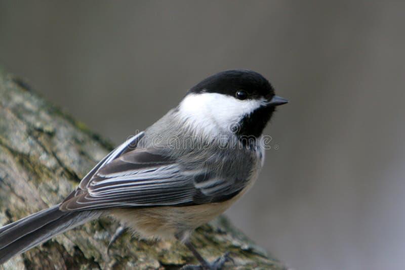 Pássaro Preto-Tampado do Chickadee empoleirado em uma filial. imagem de stock royalty free