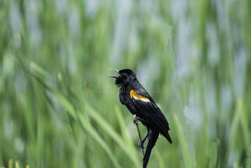 P?ssaro preto voado vermelho empoleirado em Cat Tails foto de stock royalty free