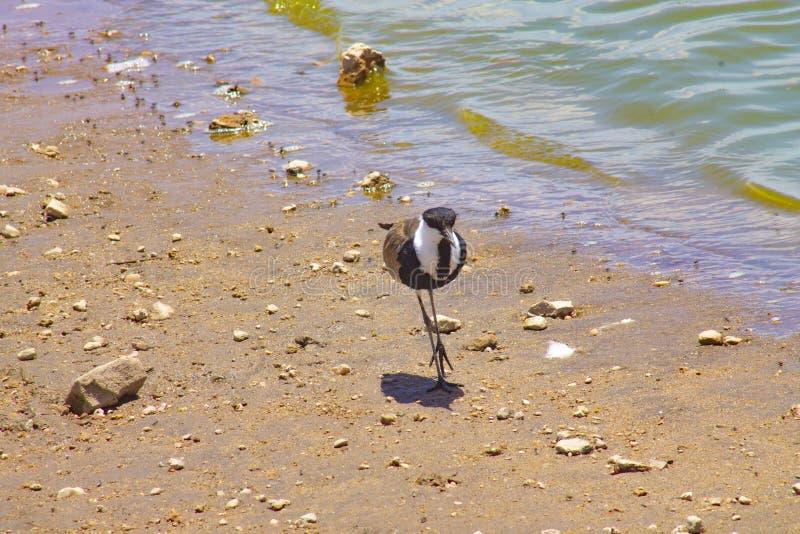 Pássaro que anda ao lado do lago fotografia de stock