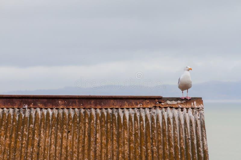 Pássaro que espera em um telhado da lata imagens de stock royalty free