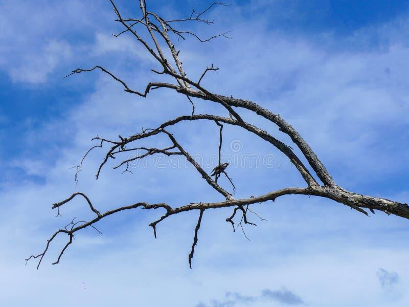 Pássaro que está no ramo da árvore inoperante no céu azul com parte traseira da nuvem imagem de stock