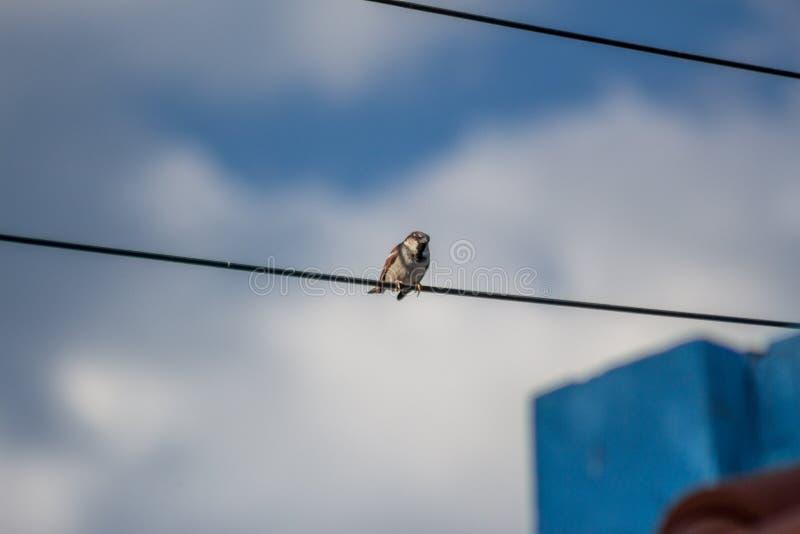 Pássaro que levanta em um fio elétrico imagem de stock royalty free