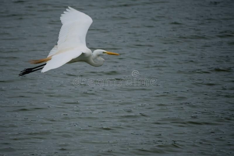 Pássaro que voa sobre a água foto de stock royalty free