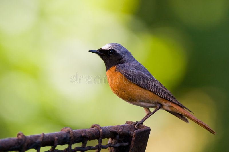 Pássaro - redstart masculino fotos de stock royalty free