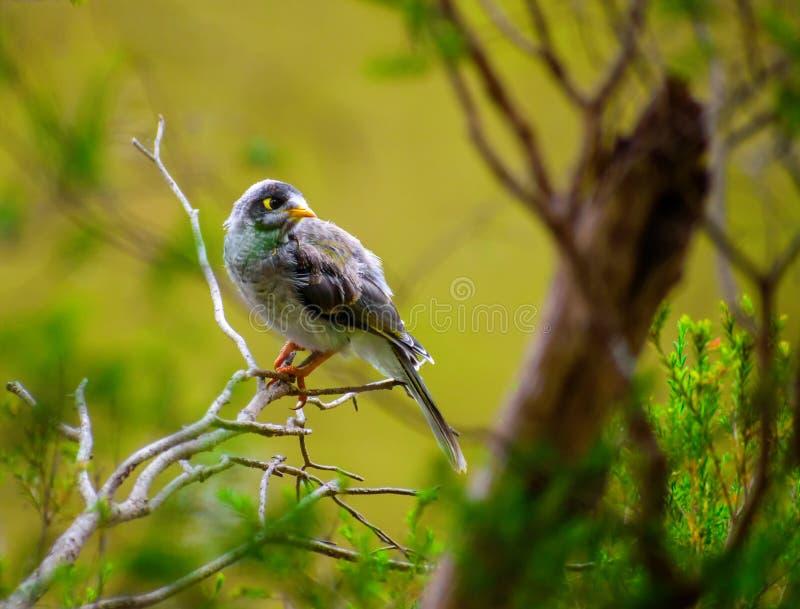 Pássaro ruidoso curioso do mineiro imagem de stock royalty free