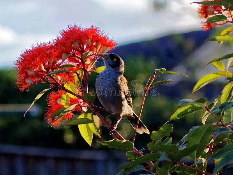 Pássaro ruidoso do mineiro na árvore de eucalipto de florescência fotografia de stock royalty free