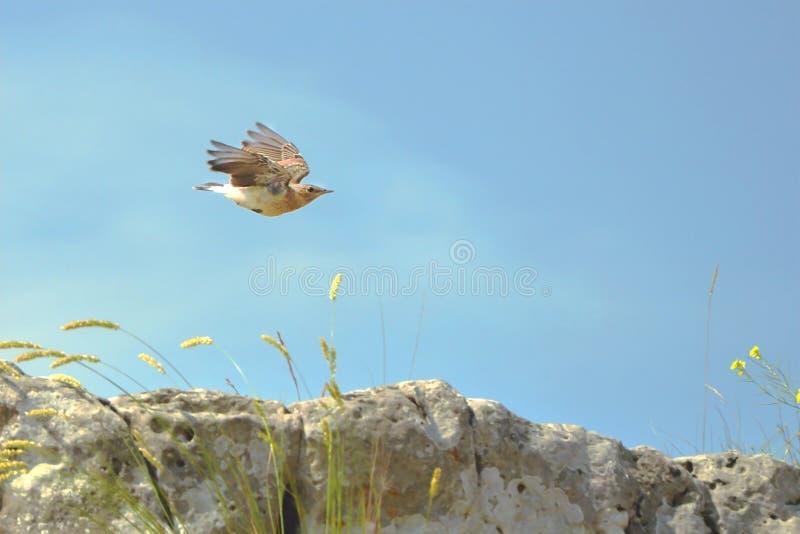 Pássaro selvagem que voa sobre a rocha contra o céu azul foto de stock