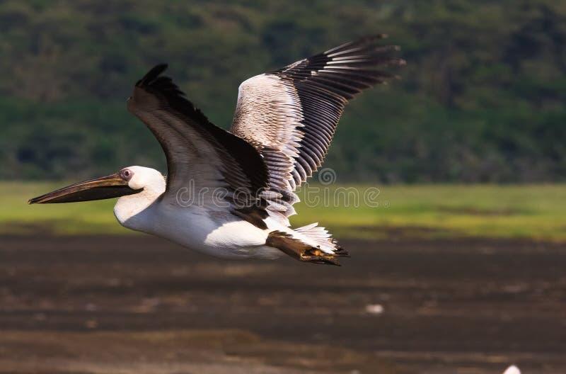 Pássaro sobre o lago Nakuru imagens de stock