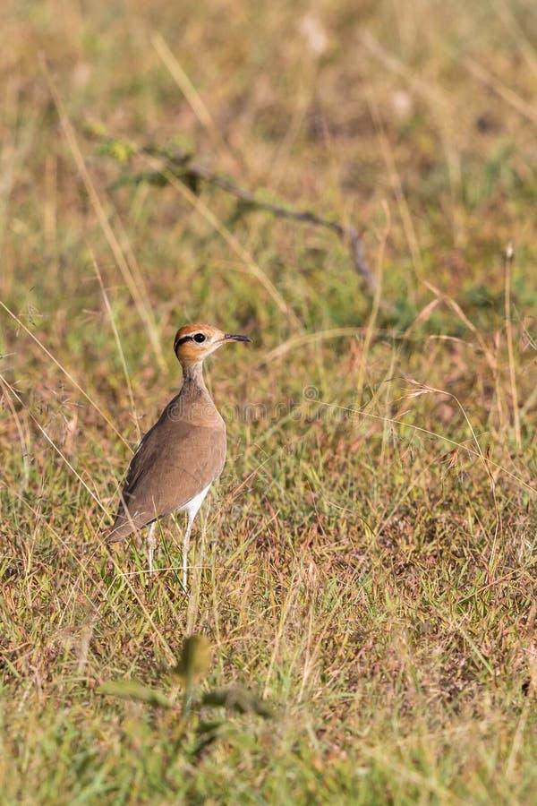 Pássaro somaliano da pernalta do courser imagem de stock royalty free