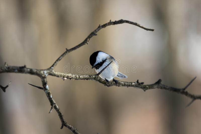 Pássaro tampado preto do Chickadee no ramo espinhoso imagens de stock