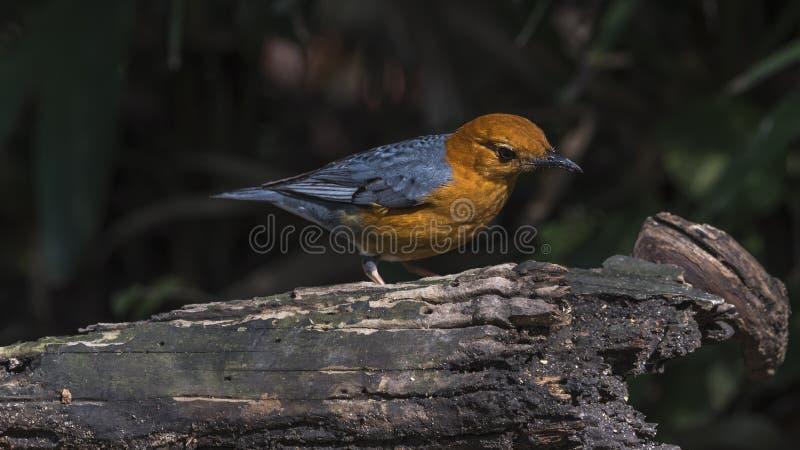 Pássaro (tordo Alaranjado-dirigido) em uma madeira imagens de stock royalty free
