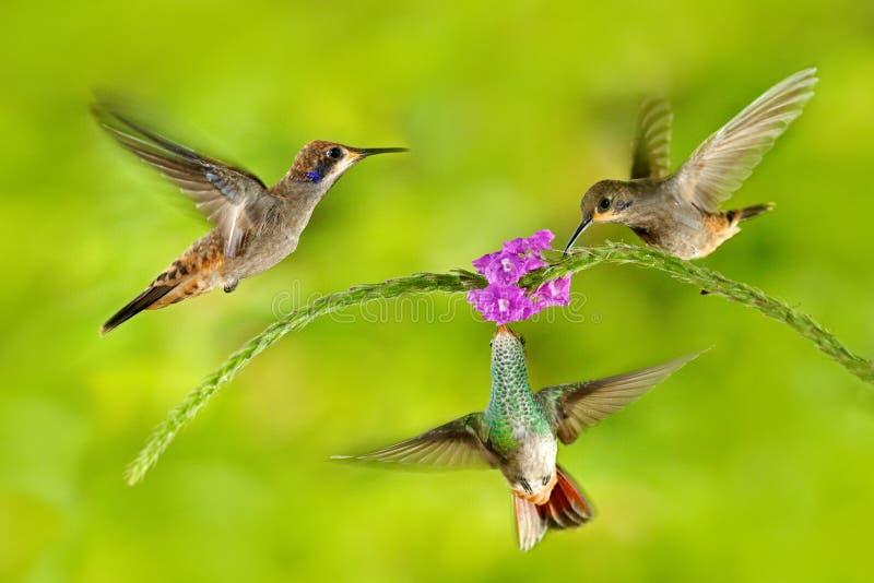 Pássaro três com flor cor-de-rosa Violeta-orelha de Brown do colibri, voando ao lado da flor violeta bonita, fundo verde floresci imagens de stock royalty free