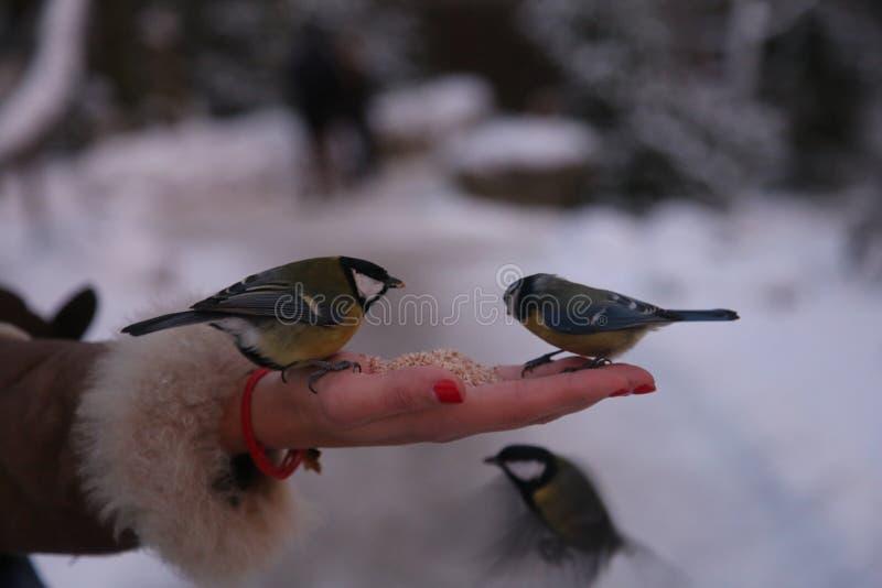 Pássaro três pequeno que senta-se em uma mão do ` s da mulher com uma semente de girassol em um bico, alimentando fotografia de stock royalty free