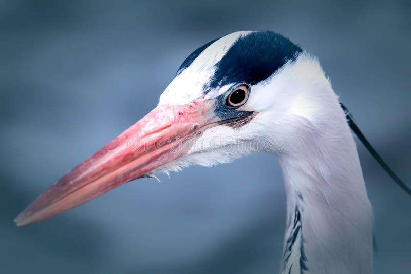 Pássaro vadeando bonito Cabeça da garça-real Imagem estética dos animais selvagens imagens de stock royalty free